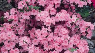 Azalea japonica Pink