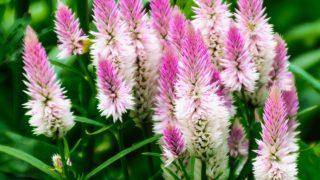 Celosia spicata, 'Flamingo Feathers'