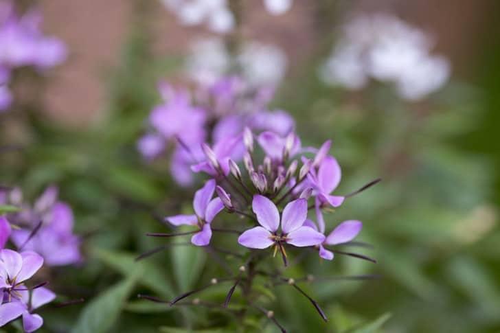 Cleome hassleriana 'Senorita Rosalita' Spider flower