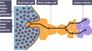 Root Cell Water uptake
