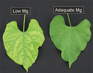 Signs of magnesium deficiency in plants