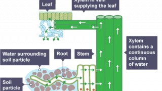Plant root water flow diagram
