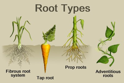 Root Structure of Plants
