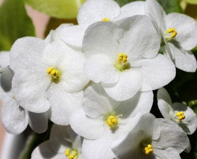 African Violet flower close up
