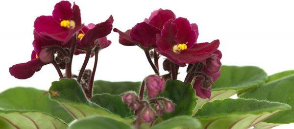 African Violet new flower blooms