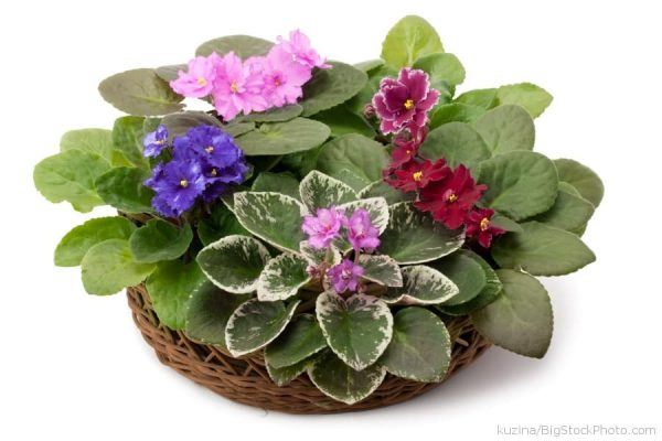 African Violet potted in a wicker basket