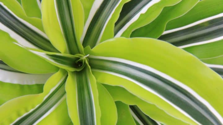 Dracaena fragrans Lemon Lime Close Up