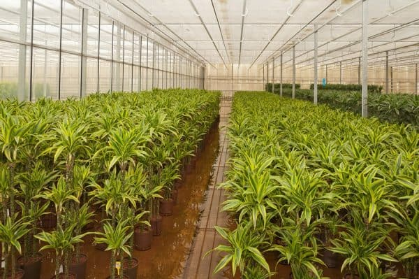 Dracaena fragrans Lemon Lime plants in a greenhouse