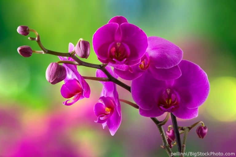 "Phalaenopsis orchid ""Moth orchid"""