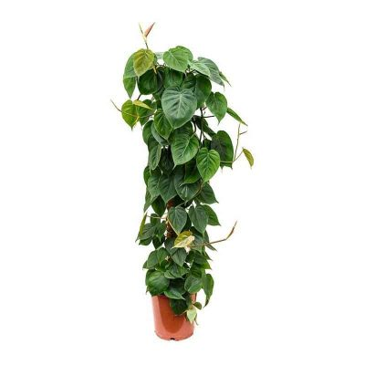 Philodendron-scandens-Sweetheart-Plant Climbing