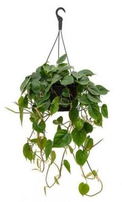 Philodendron-scandens-Sweetheart-Plant-hanging basket