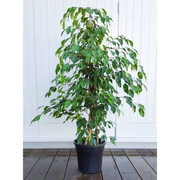 Weeping fig houseplant