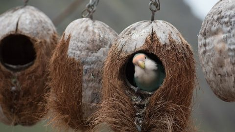 bird living in a coconut