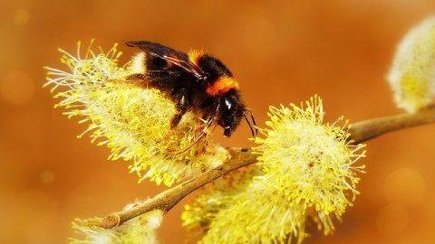 bumblebee buzz-pollination