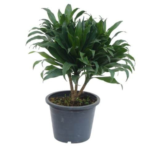 dracaena-compacta repotted