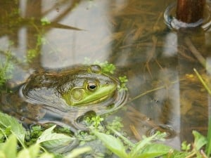 a frog in water