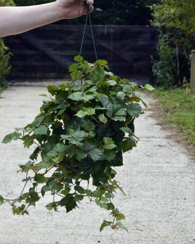 grape ivy hanging basket