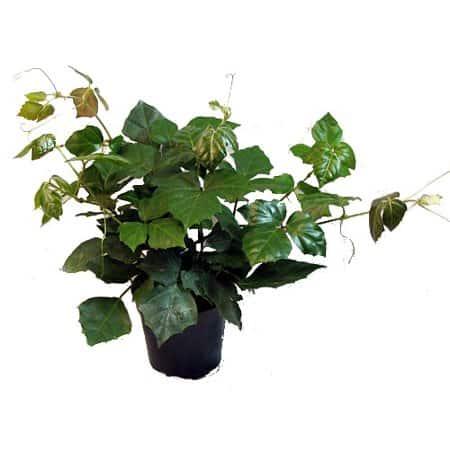 Grape ivy, cissus rhombifolia