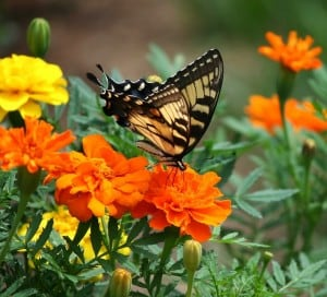 butterfly swallowtail on marigold