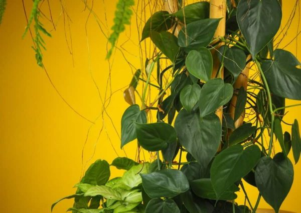 philodendron scandens, sweetheart plant close up