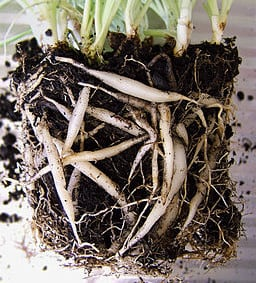 spider plant roots