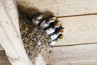 swallows in a bird nest