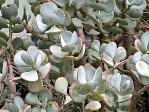 silver dolar jade, Blue Bird Jade plant
