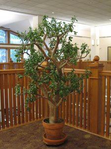 6ft high Crassula Ovata - Jade Plant , Money Plant