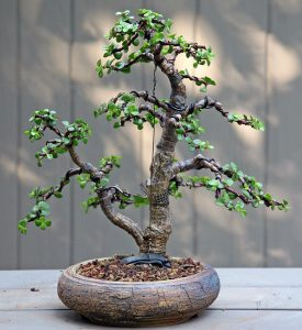 A jade plant that has been bonsai