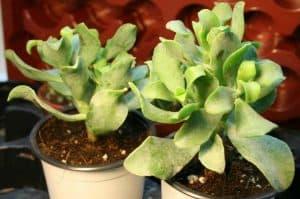 ripple leaf jade