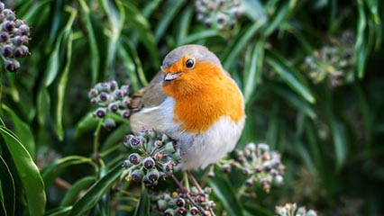 Robin in bush