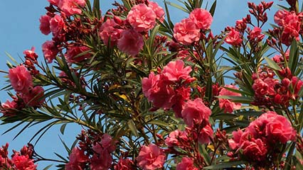 Nerium Oleander Growing and Care