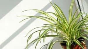 Spider Plant Chlorophytum Comosum featured