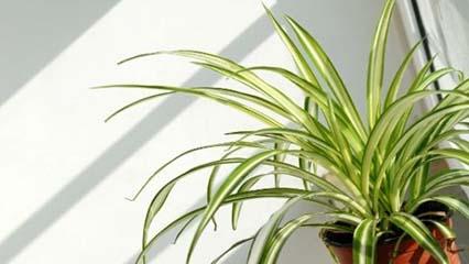 """Chlorophytum comosum """"Spider plant"""" Complete Care Guide"""