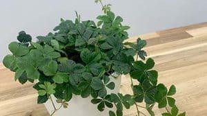 Cissus rhombifolia Grape ivy