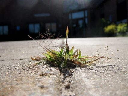 a weed in a crack