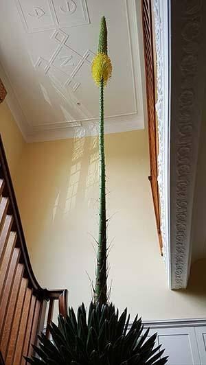 Agave victoriae reginae flowering indoors