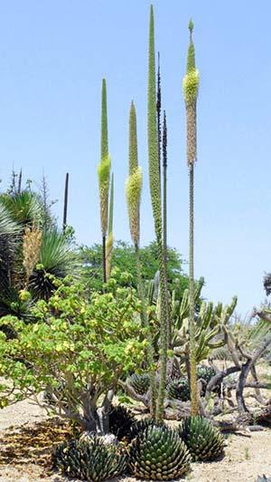 Agave victoriae reginae flowering outdoors