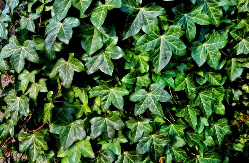 How To Kill Ivy – Get Rid Of It Forever