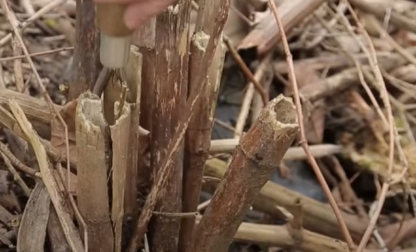 Sharp implement On Knotweed Roots