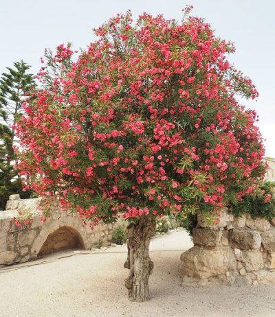 Pink Oleander Tree