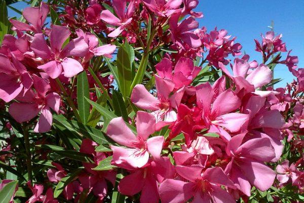 Pink Oleander Flowering