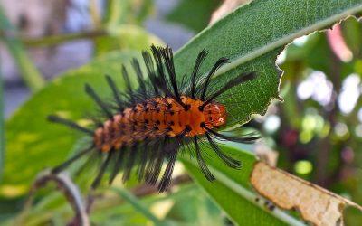 Oleander Caterpillar