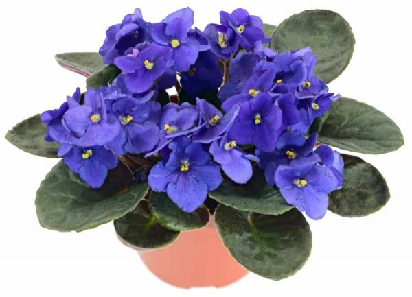 Potted African Violet (Saintpaulia ionantha) isolated on white background