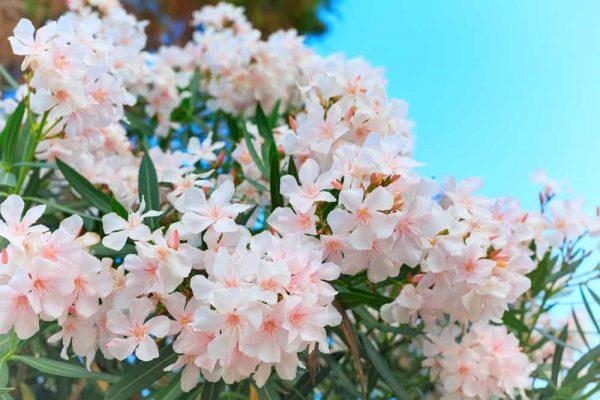 white oleander in bloom, green leaves