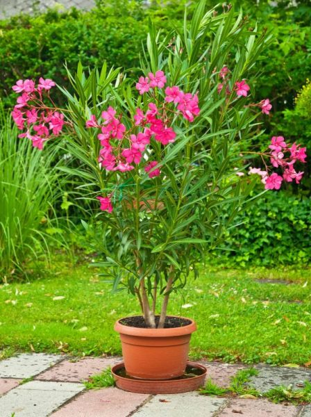 Pink Oleander in Container