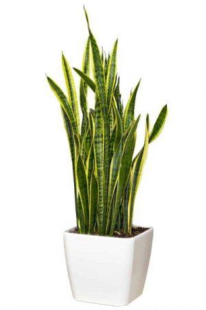 Sansevieriya Houseplant In A Large White Pot