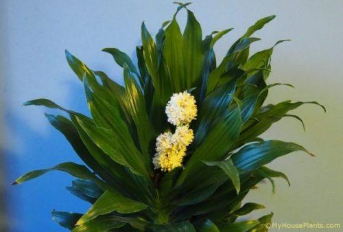 dracaena compacta flowering