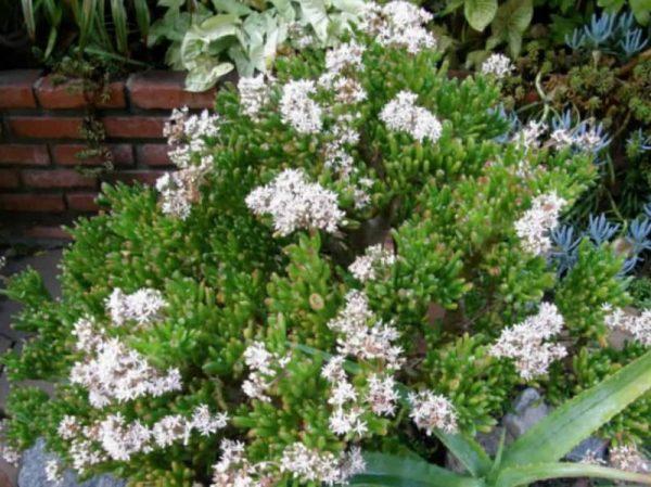 gollum jade flowering