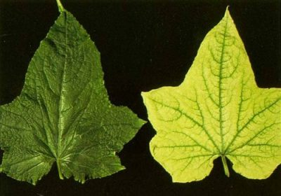 2 leaves of plants 1 normal and 1 with iron deficiency